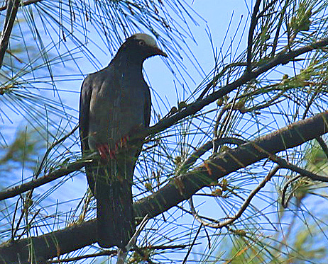 White Crowned Pigeon-r1