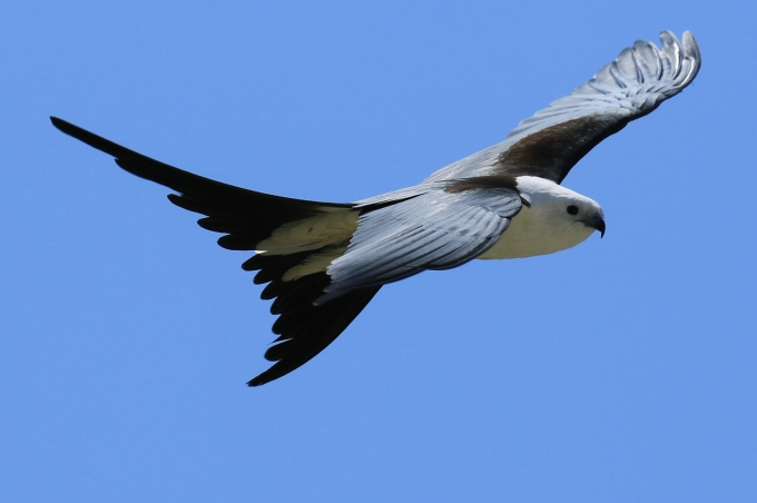 White Tailed Kite 3a