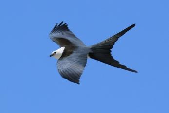 White Tailed Kite 4