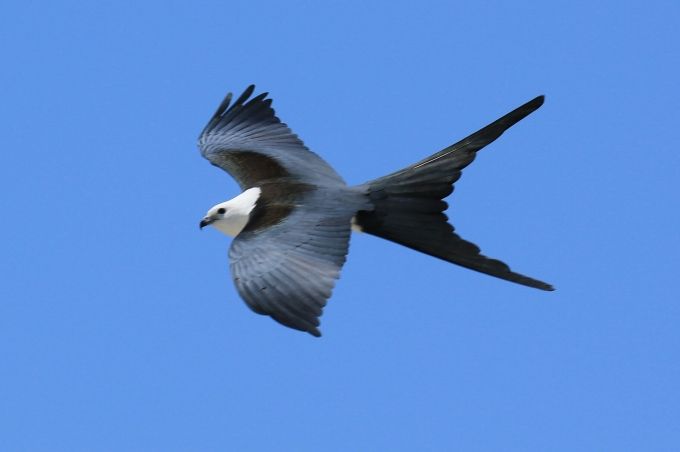 White Tailed Kite 4