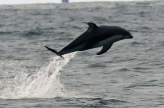 WhiteSided Dolphin Breach