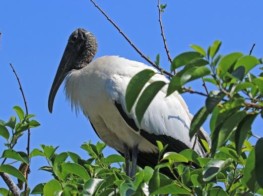 Wood Stork5.jpg
