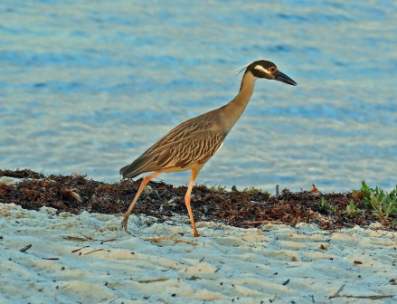 Yellow Crowned Night Heron5