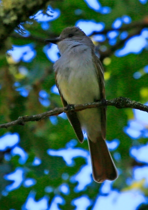 Ash Throated Flycatcher 1