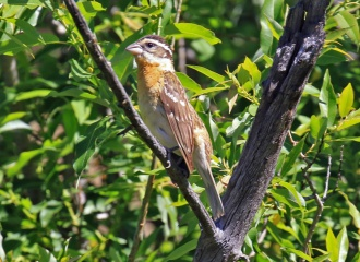 Black Headed Grosbeak Female