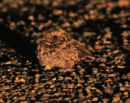 Common Poorwill
