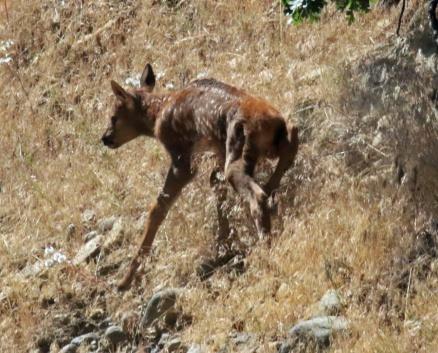 Elk Calf1