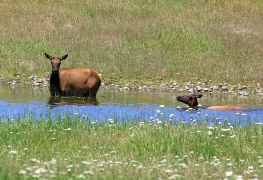 Swimming Elk