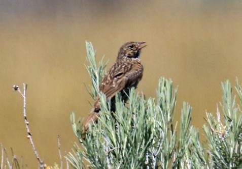 Vesper Sparrow1
