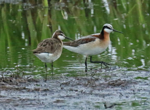Wilson Phalaropes