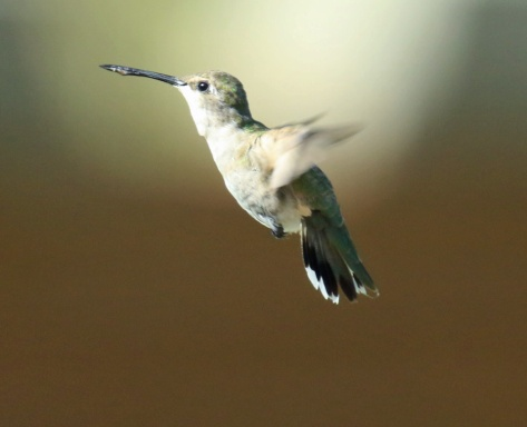 Black Chinned Hummingbird Female