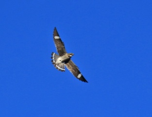 Common Nighthawk Flight - Copy