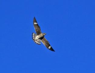 Common Nighthawk Flight - Copy