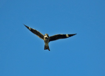 Common Nighthawk Flight1 - Copy