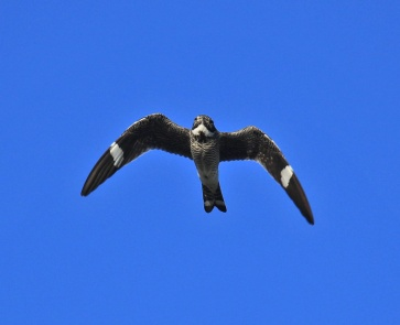 Common Nighthawk Flight2 - Copy