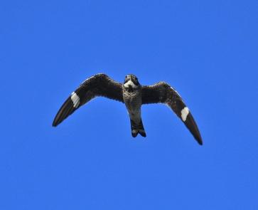 Common Nighthawk Flight2 - Copy