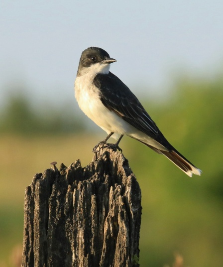 Eastern Kingbird1a