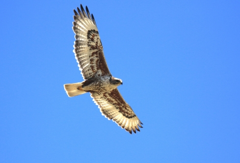 Ferruginous Hawk 1 - Copy