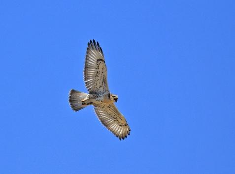 Ferruginous Hawk Lighter - Copy