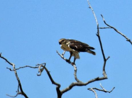 Ferruginous Hawk Perched