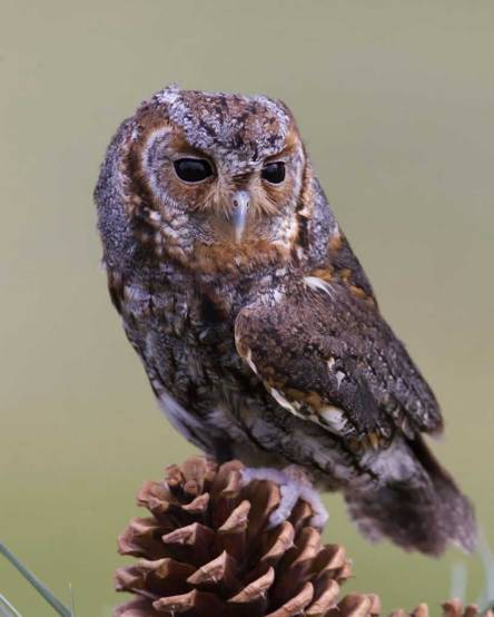 Flammulated_Owl_b53-2-009_l