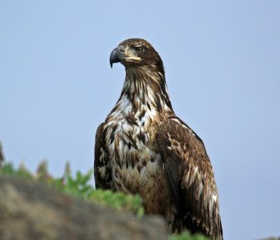 Juvenile Bald Eagle2