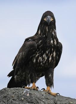 Juvenile Bald Eagle3