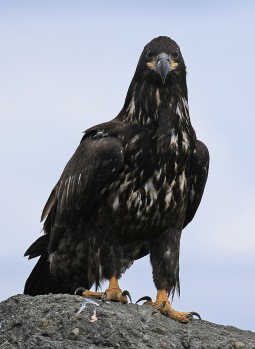Juvenile Bald Eagle3