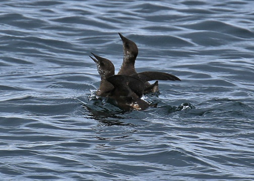 Marbled Murrelets2