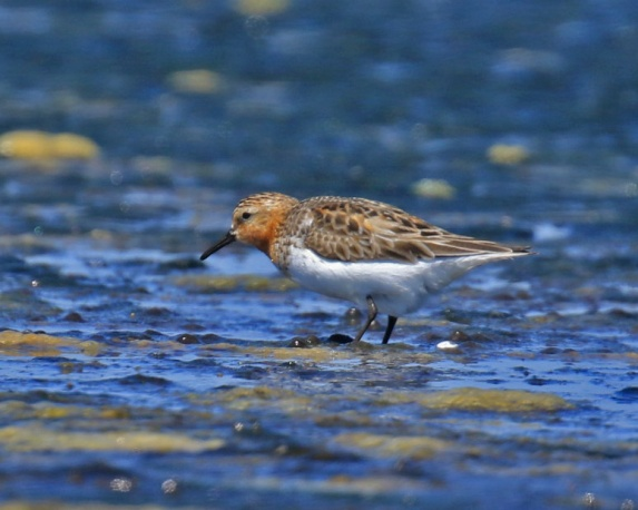 Red Necked Stint 3