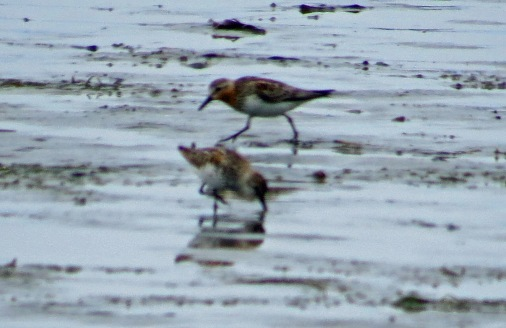 Red Necked Stint at Bottle Beach