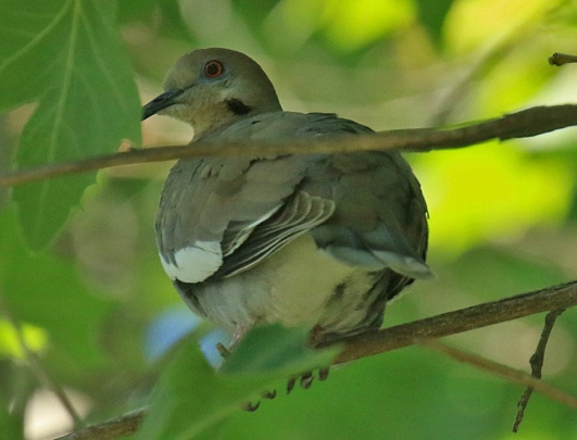 White Winged Dove1