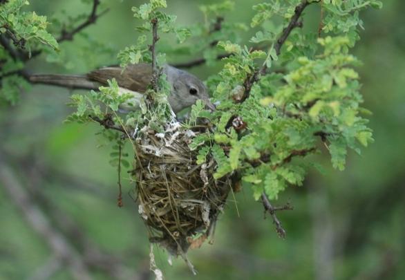 Bell's Vireo at Nest (2)