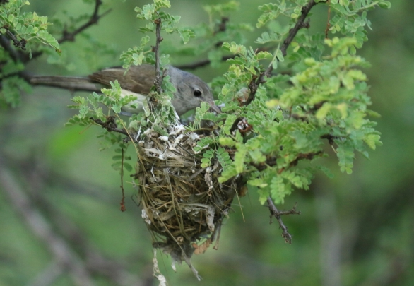 Bell's Vireo at Nest (2)