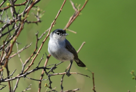 Black Tailed Gnatcatcher 1 (2)