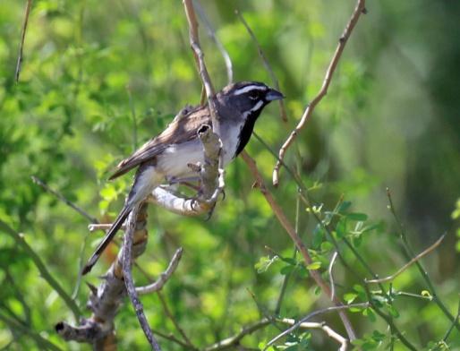 Black Throated Sparrow3