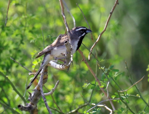 Black Throated Sparrow3
