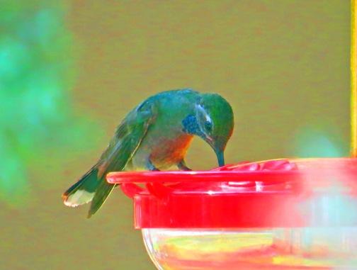 Blue Throated Hummingbird 3