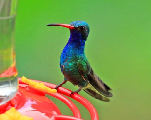 Broad Billed Hummingbird4