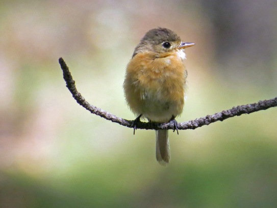 Buff Breasted Flycatcher (2)