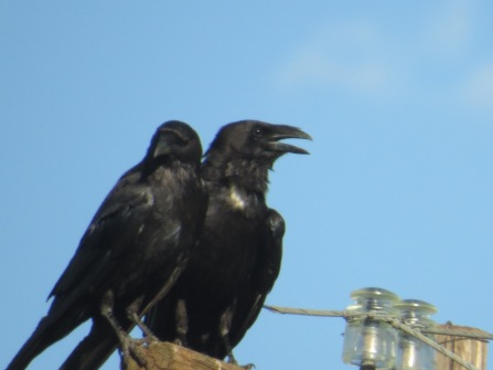 Chihuahan Raven