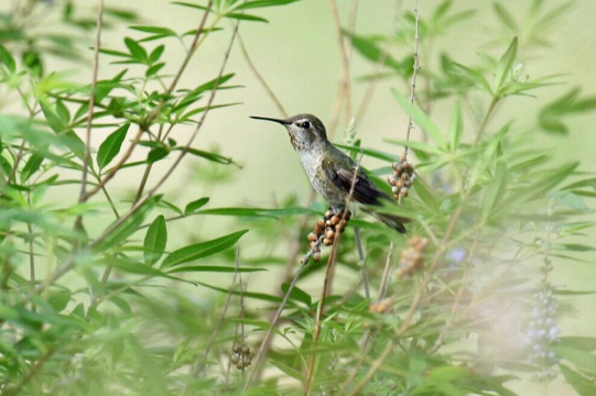 Costa ' s Hummingbird Female 1