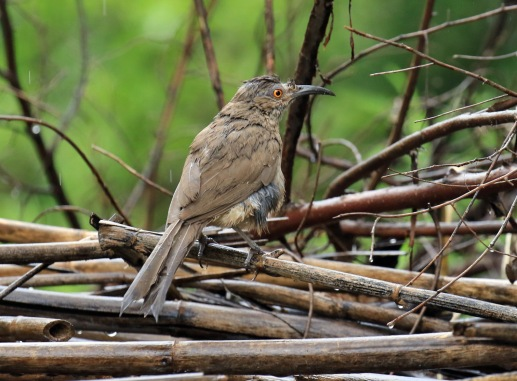 Curve Billed Thrasher2