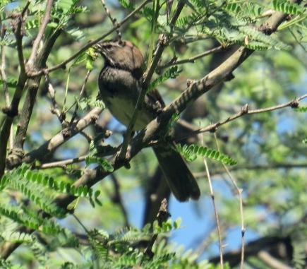 Five Striped Sparrow