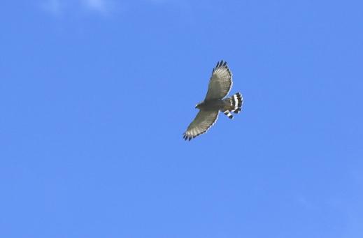 Gray Hawk Flight