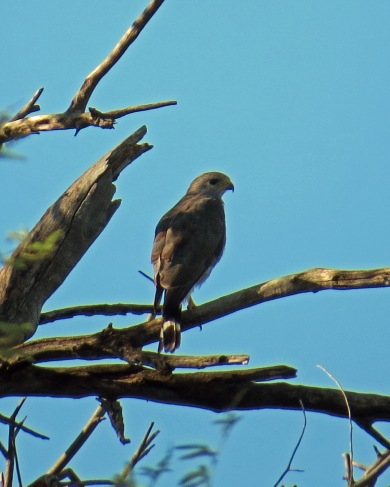Gray Hawk Perched