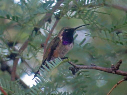 Lucifer Hummingbird2