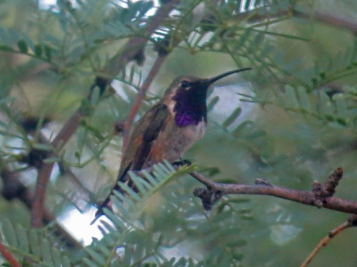 Lucifer Hummingbird2