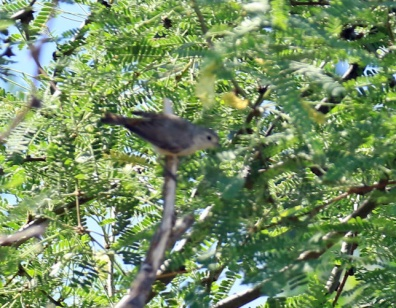 Lucy's Warbler1 (2)