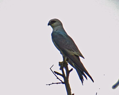 Mississippi Kite1r